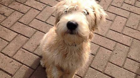Alfie, the 10-year-old Wheaten Terrier, is missing from his home in St Albans