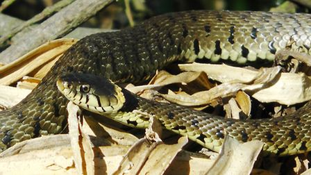 Stock photo. A snake was found outside in the cold in Redbourn.