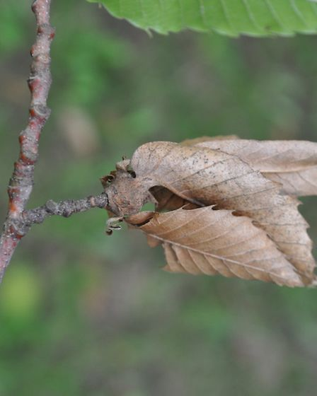Gall wasp. Photo courtesy of the Forestry Commission/Matteo Maspero