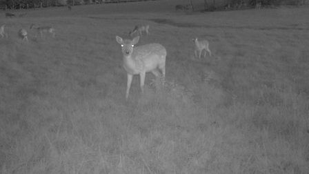 Fallow deer seen at night on cameras at Whipsnade Zoo.