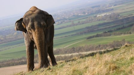 A female Asian elephant at Whipsnade Zoo.