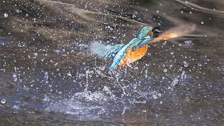 Kingfisher at Verulamium Lake - pictured by Steve Holland