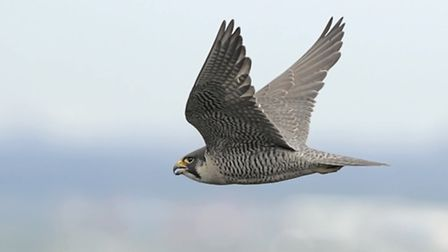 The peregrine. - picture by Steve Round.