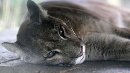 Two people reported seeing the big cat in St Albans district (file photo of puma)
