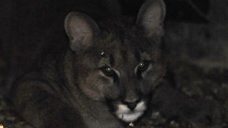 Another big cat has been spotted in St Albans district (File photo of puma)