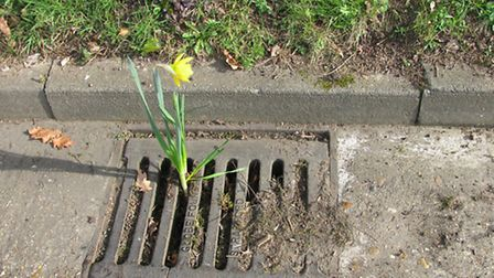 A daffodil grew out of one of the blocked drains in Park Street