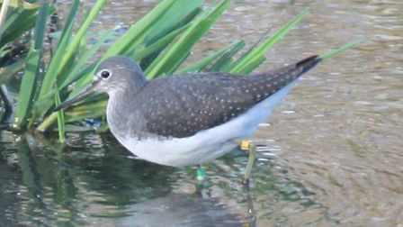 A green sandpiper at Lemsford Springs (credit: Grace Adcock)