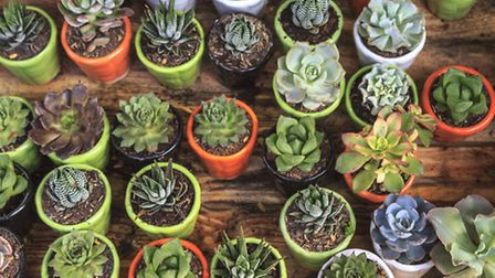 Succulents are increasingly popular
