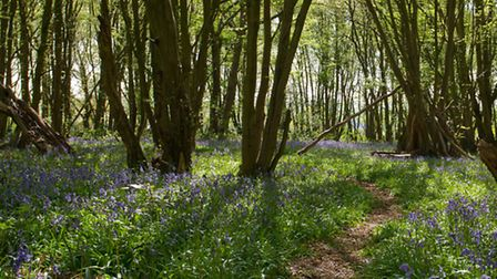 Bluebells in Heartwood Forest