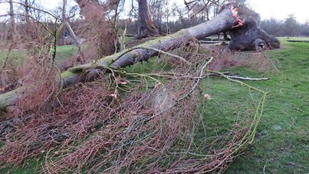 Verulamium Park tree downed by Storm Doris. Supplied by Barry Kimber.