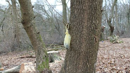 Poo bag hanging from a tree in Bricket Wood Common