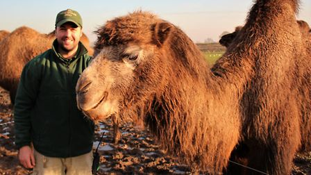 Zookeeper Ben Gulli with Bactrian camel at ZSL Whipsnade Zoo