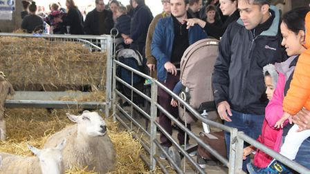 Crowds at the lambing event.