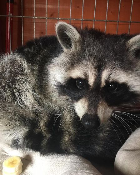 Stray racoon rescued by Fenland Animal Rescue in Broughton