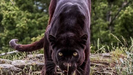 Could there be a Beast of Hertfordshire? Another resident has reported seeing a panther (file photo)