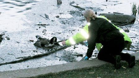 RSPCA trying to save a goose stuck in Verulamium lake's silt