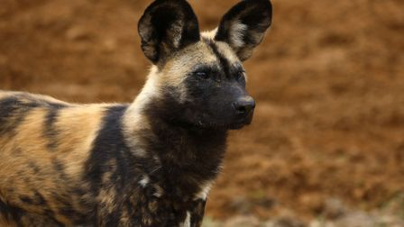 African hunting dogs at Whipsnade Zoo.