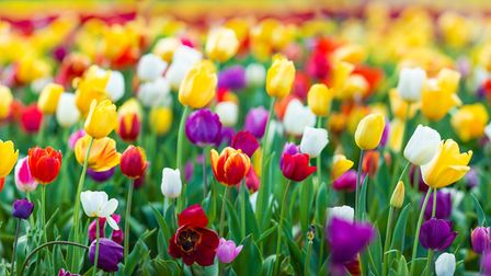 Tulips come in almost every colour your could imagine