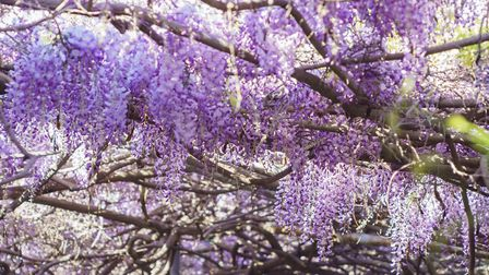 """""""The plant in my garden which is bringing me most excitement at the moment is the wisteria,"""" says De"""