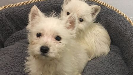 Ben and Max, two westies who died five days after being bought from Poulton.