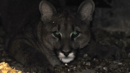 Was a puma responsible for mutilating the deer?