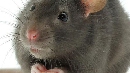 Rats can have a litter every 10 to 12 weeks.