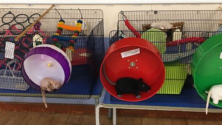 Rats were the focus of the event in Meldreth.