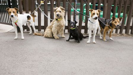 How many dogs is too many for professional walkers to control?