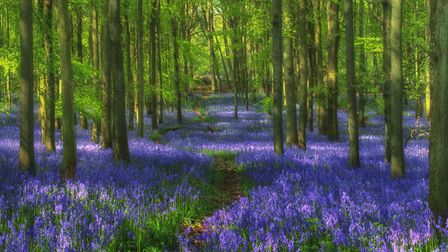 Springtime brings the annual impressive display of bluebells at Dockey Wood