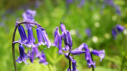 Picture perfect: Bluebells are a beautiful sight