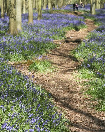 The bluebells make this a popular time of year to visit Ashridge