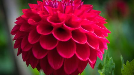 Flowered up: A late summer-flowering dahlia [PA Photo/thinkstockphotos]