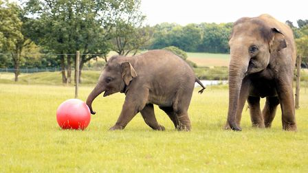 Whipsnade Zoo's baby elephant Elizabeth enjoys a kickabout for her first birthday.