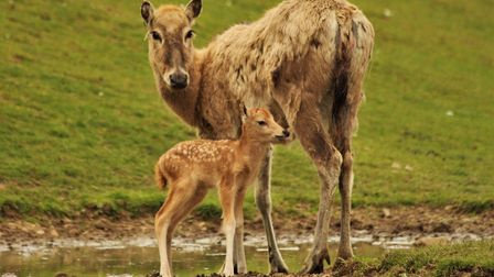 Mother and fawn Père David's deer at ZSL Whipsnade Zoo. Credit: ZSL