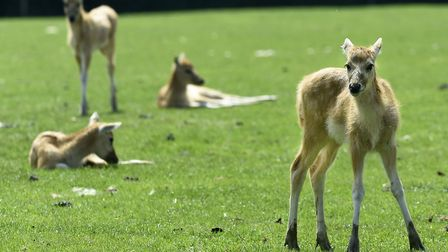 Four of the rare Pere David's deer fawns at ZSL Whipsnade Zoo. Credit: Tony Margiocchi