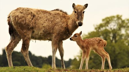 Newborn Père David's deer stands with its mother at ZSL Whipsnade Zoo. Credit: ZSL