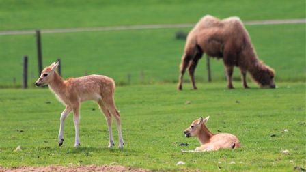 Two of the young Père David's deer in ZSL. Credit: ZSL