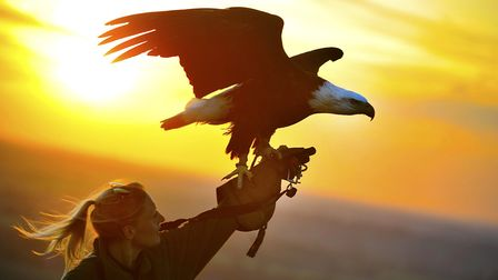Apache, Whipsnade Zoo's bald eagle, prepares to fly at sunset.