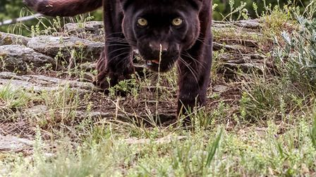 A jogger claims he saw a panther in the Alban Way (file photo)