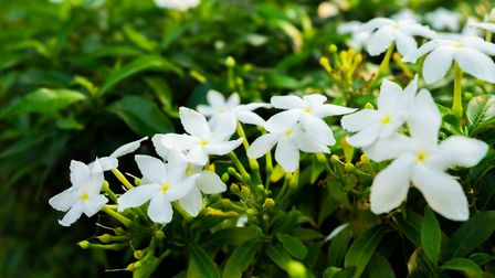 The musky fragrance of Jasmine tends to linger in the evening