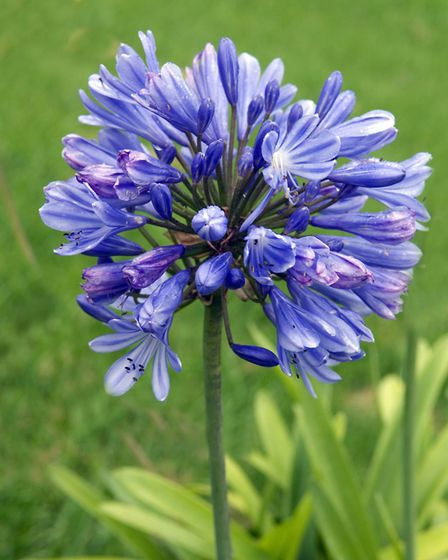 An Agapanthus in bloom [PA Photo/thinkstockphotos]