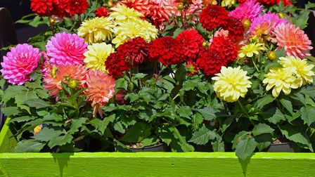 Colourful dahlia flower pots make for an eye-catching display [PA Photo/thinkstockphotos]