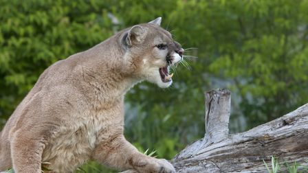 Adult male cougar snarling with mouth open and teeth bared - stock picture.