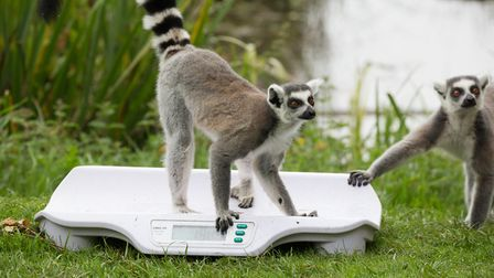 Whipsnade Zoo annual weigh-in - a ring-tailed lemur checks in.