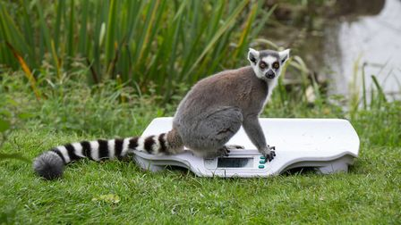 Whipsnade Zoo annual weigh-in - a ring-tailed lemur on a set of scales.