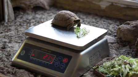 Whipsnade Zoo annual weigh-in - an Egyptian tortoise is weighed.