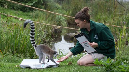 Whipsnade Zoo annual weigh-in -keeper Clare White logs the lemur's weight.