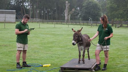 Whipsnade Zoo annual weigh-in - keepers Ben Cherry and Molly Ruder weigh miniature donkey Trevor.