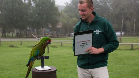 Whipsnade Zoo annual weigh-in - keeper Josh Tall checks the weight of military macaw Bolivia.