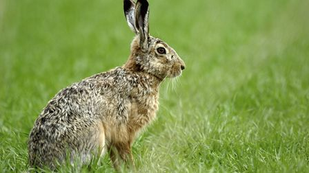 Hare coursing has soared in Cambridgeshire in recent years